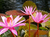 This image is of flowers, lilipads and water to represent Care of Creation