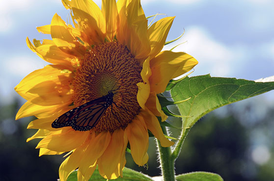 This is an image of a sunlfower and a butterfly.
