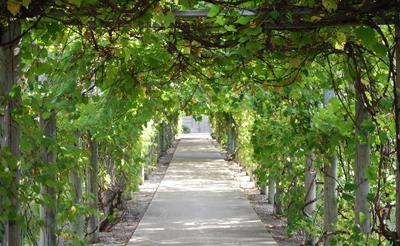 The grape arbor at Notre Dame of Elm Grove.