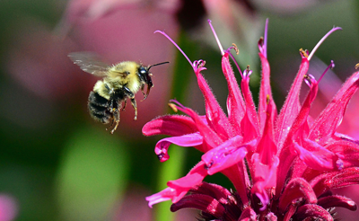 Busy Bee hovering pink flower