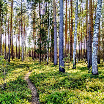 An image of the forest and a path to no where.